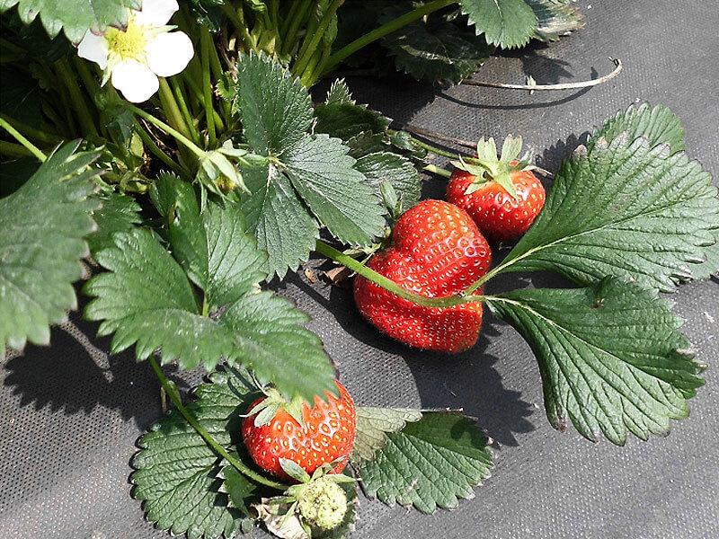 frische erdbeeren vom eggenhof neuss. Black Bedroom Furniture Sets. Home Design Ideas